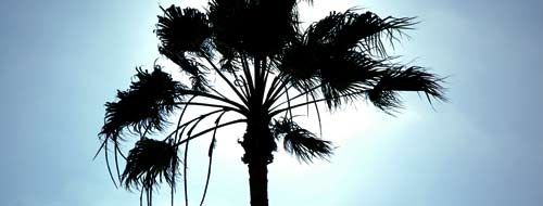 Los Angeles Palm Tree